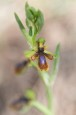 Ophrys_speculum_lusitanica_3