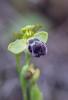 Ophrys dyris, Malaga Spanien 2019-04-10