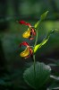 Cypripedium_calceolus_20