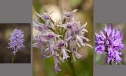 Orchis hybrid koll