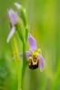 Ophrys apifera, Skåne 2019-06-15