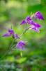 Cephalanthera rubra, Ryr (SE) 2019-06-30