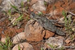 The huge grasshopper