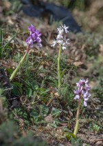 Färgvariation hos Orchis olbiensis