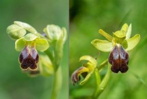 Ophrys fusca ssp. bilunulata.......     Ophrys fusca ssp. fusca