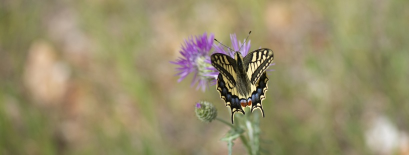 In the power line corridor, a number of butterfly species flew around. Here's a makaon on a thistle species.