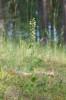 Epipactis helleborine subsp. orbicularis, Skåne 2019-07-17