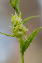 Epipactis phyllanthes ssp. arenaria