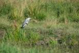 Häger, Grey heron, Ardea cinerea