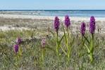 Dactylorhiza incarnata subsp. incarnata, Gotland 2015-06-16