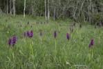 Dactylorhiza incarnata subsp. incarnata, Kinnekulle 2019-06-05