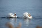 Knölsvan / Mute Swan / Cygnus olor