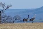 Trana / Common Crane/  Grus grus