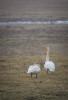 Sångsvan / Whooper Swan / Cygnus cygnus