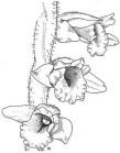 Anacamptis collina, Lesvos 2014-04-13
