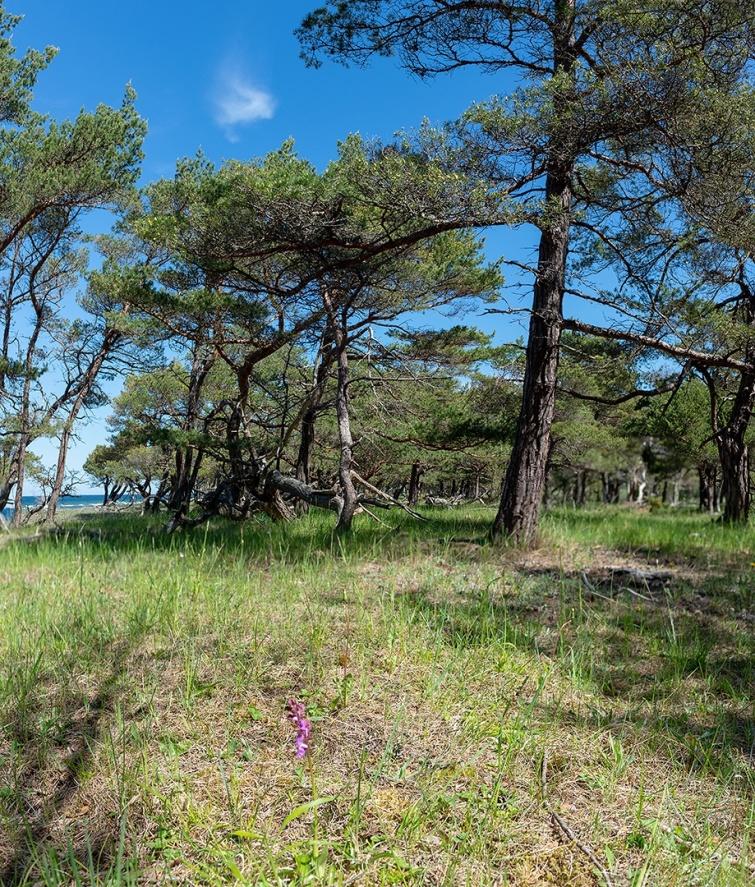 Typisk miljö för alpnyckel (Orchis spitzelii) på Gotland, 2019-05-29