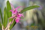 BC Maikai (B. nodosa x G. bowringiana)