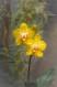 Phalaenopsis hybrid - yellow