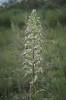 Himantoglossum_hircinum_13