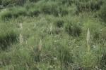 Himantoglossum_hircinum_14