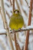 Grönfink / European Greenfinch / Chloris chloris, female