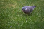 Ringduva / Common Wood Pigeon / Columba palumbus