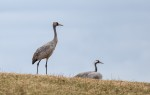 Trana / Common Crane/  Grus grus (juv.)