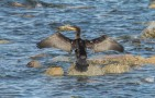 Storskarv  / Great Cormorant  / Phalacrocorax carbo