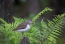 Skogssnäppa / Green Sandpiper / Tringa ochropus