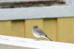 Sädesärla / White Wagtail / Motacilla alba, (juv.)