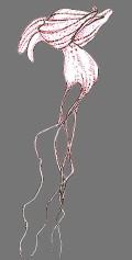 ------------ Himantoglossum comperianum --------------