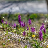 St. Pers nycklar, orchis mascula ssp. mascula