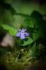 Skogsviol, Viola riviniana