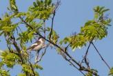 Svartvitflugsnappare / Pied Flycatcher / Ficedula hypoleuca