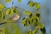Lövsångare / Willow Warbler / Phylloscopus trochilus