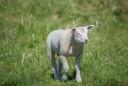 Gulliga, ulliga lam njuter även de av det fina vädret
