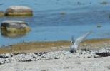 Silvertärna / Arctic Tern / Sterna paradisaea