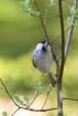 Talltita / Willow tit / Poecile montanus