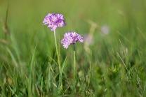 Majviva (Primula farinosa)