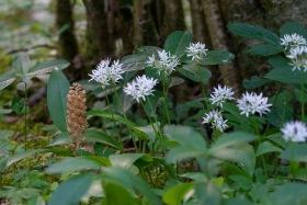 Nästrot Neottia nidus-avis här tillsammans med ramslök Allium ursinum