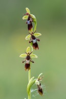 Flugblomster Ophrys insectifera