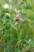 Biofrys, Ophrys apifera