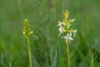 Ängsnattviol (Plantnthera bifolia)