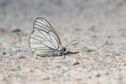 Hagtornsfjäril, Aporia crataegi, Edsleskog 2020-06-26