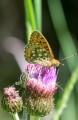 Ängspärlemorfjäril, Speyeria aglaja, Edsleskog 2020-06-26