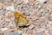 Silverstreckat pärlemorfjäril, Argynnis paphia, Edsleskog 2020-06-26
