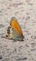 Pärlgräsfjäril, Coenonympha arcania, Edsleskog 2020-06-26