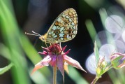 Brunfläckig pärlemorfjäril, Boloria selene, Edsleskog 2020-06-26