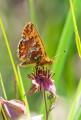 Myrpärlemorfjäril, Boloria aquilonaris, Edsleskog 2020-06-26