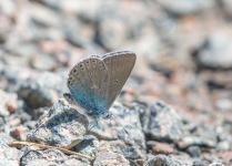 Silverblåvinge, Polyommatus amandus, Edsleskog 2020-06-26